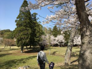 奈良公園 裏参道 桜