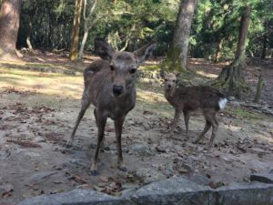 奈良公園 親子の鹿