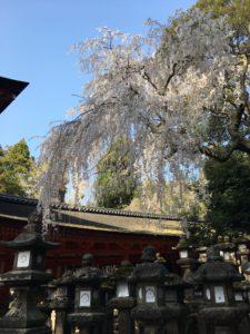 奈良公園 春日大社の桜