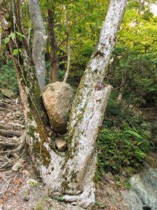 大きな岩がはさまった木