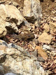 土や岩の上をチョロチョロするリス