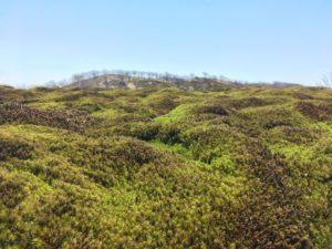 モフモフの苔