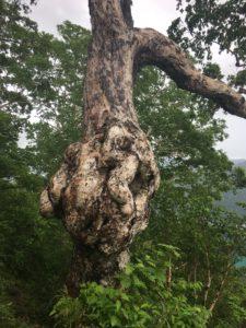 こぶのある木